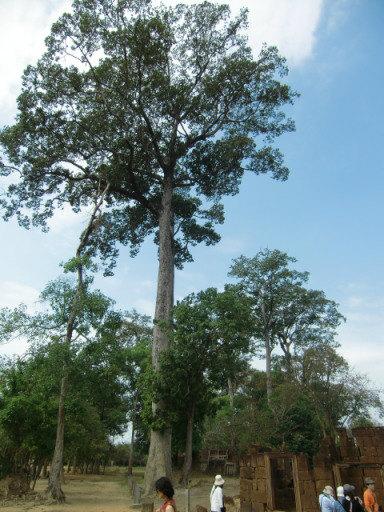 ラワンの木