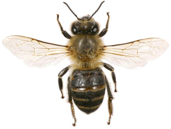 ミツバチjpg