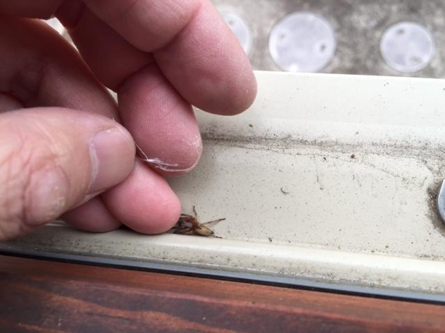 窓枠で冬眠中の蜘蛛