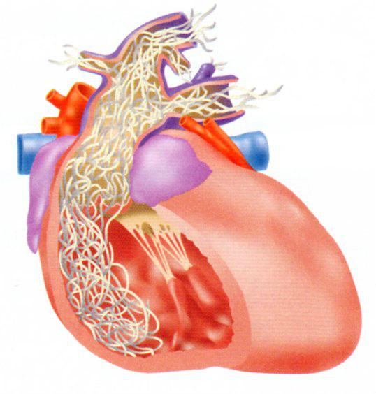 フィラリア心臓